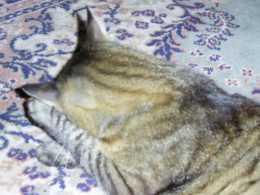 Vorschau Katze schaemt sich